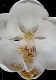 Magnolia Grandiflora Michel Eau de Parfum 50 ml_